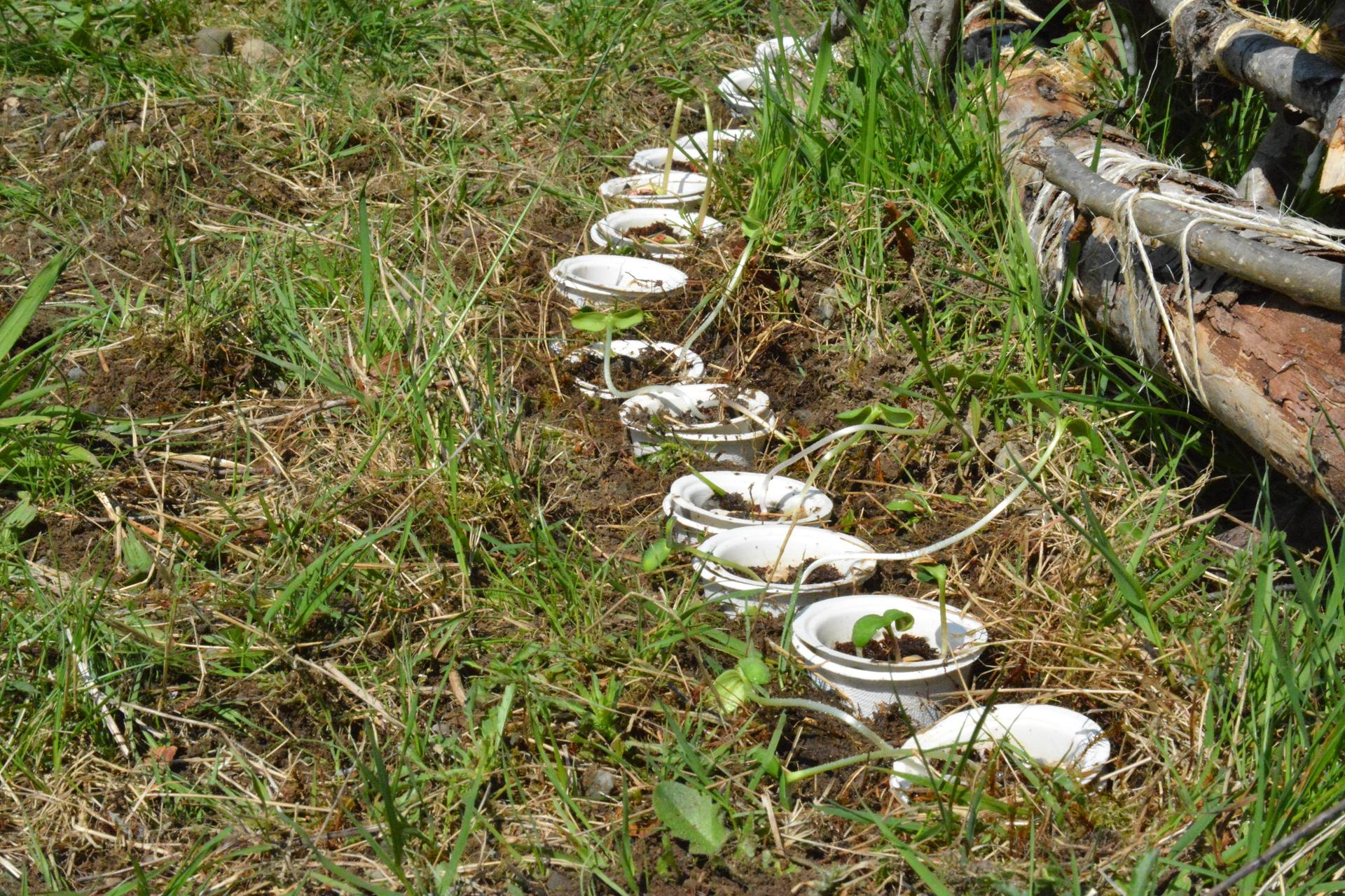 Plants growing in cups