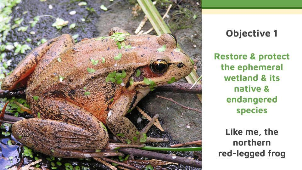 Objective 1   Restore & protect the ephemeral wetland & its native & endangered species   Like me, the northern red-legged frog